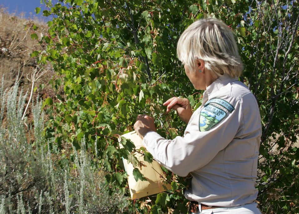 Kata Bulinski from the Baker City Field Office collects seeds from a Moutain Maple in the Snake River area of eastern Oretgon.