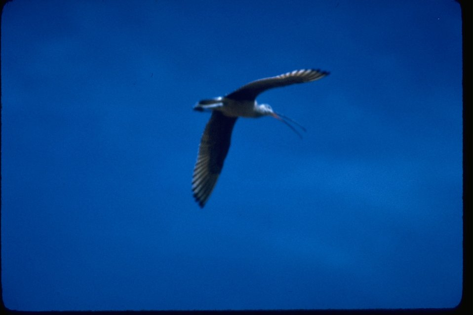 A long-billed Curlew soaring in the sky.
