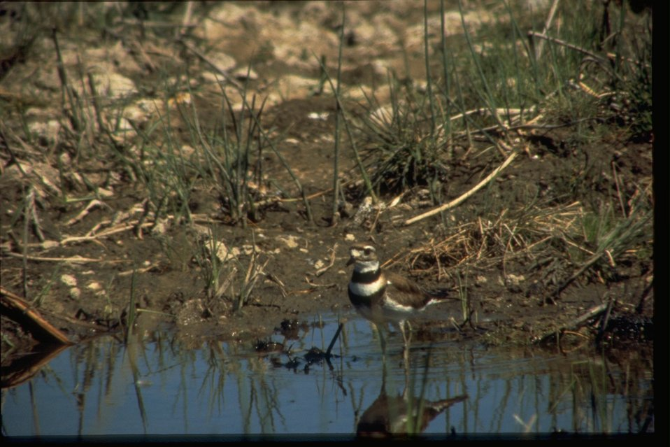 A single Killdeer standing in small pond.