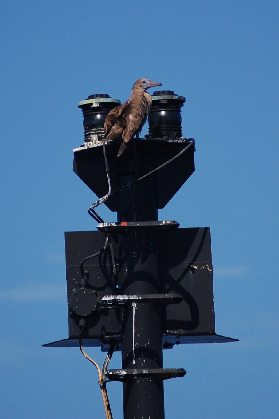 Red-footed booby perched on a navigation light.