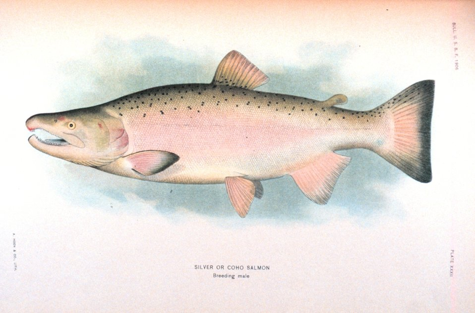 Silver or Coho salmon, breeding male.  In:  'The Fishes of Alaska.' Bulletin of the Bureau of Fisheries, Vol. XXVI, 1906.  P. 360, Plate XXXII.