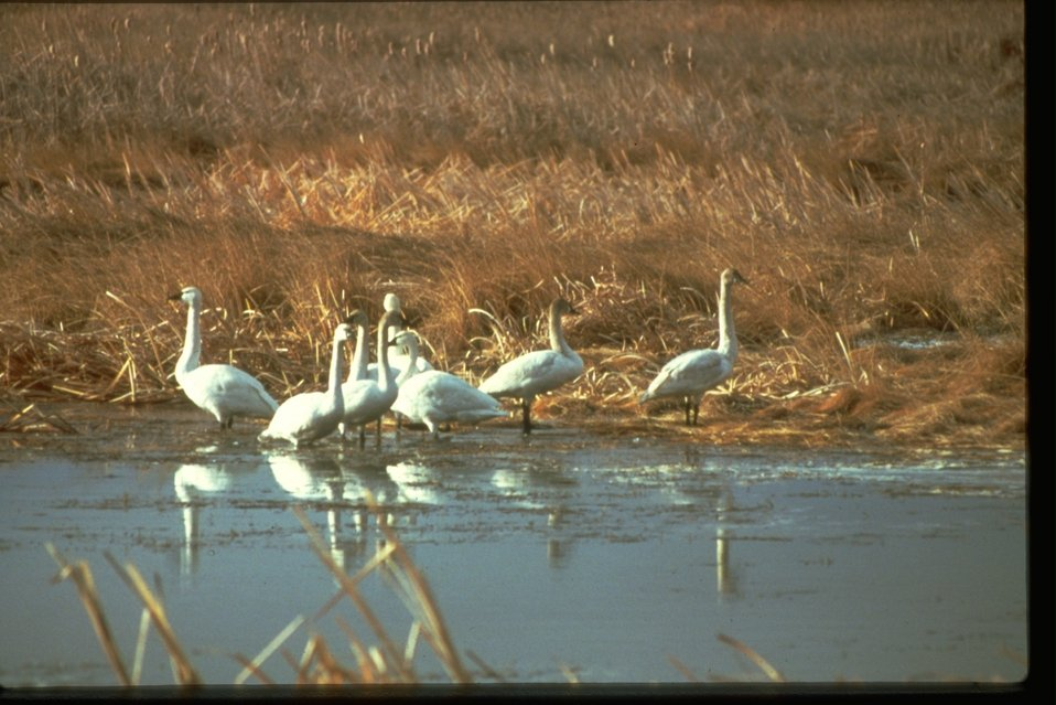 Tundra Swans standing along icy bank.