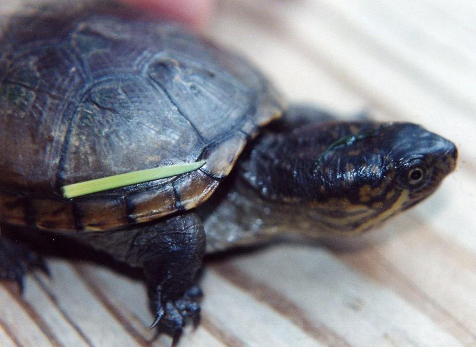 Juvenile mud turtle.