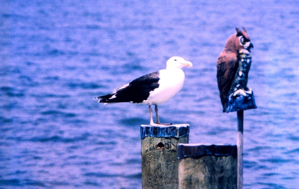 A Great Black Backed Gull on a piling.  Obviously not scared of the owl.