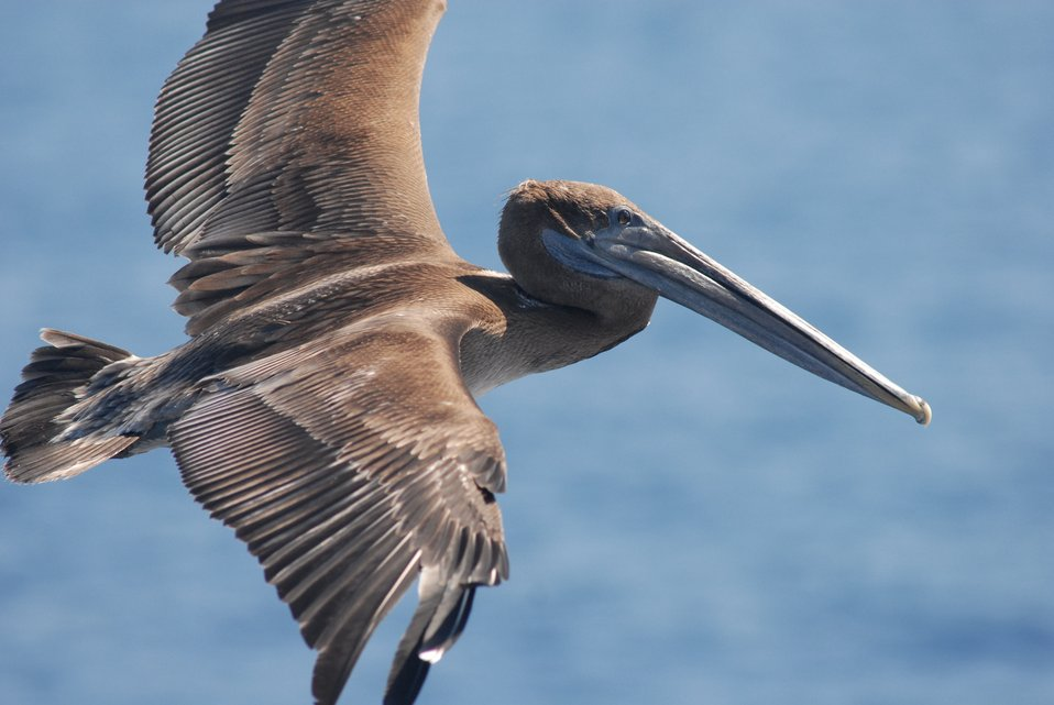 Magnificent brown pelican in flight.