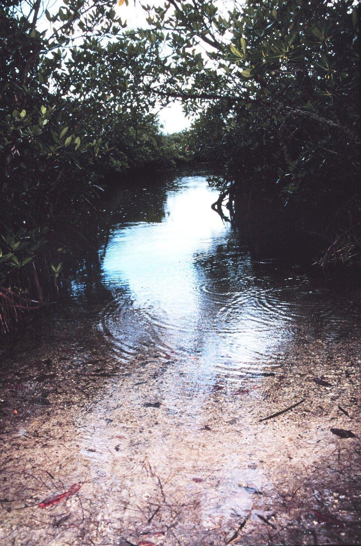 Mangrove swamp habitat at John Pennekamp Coral Reef State Park