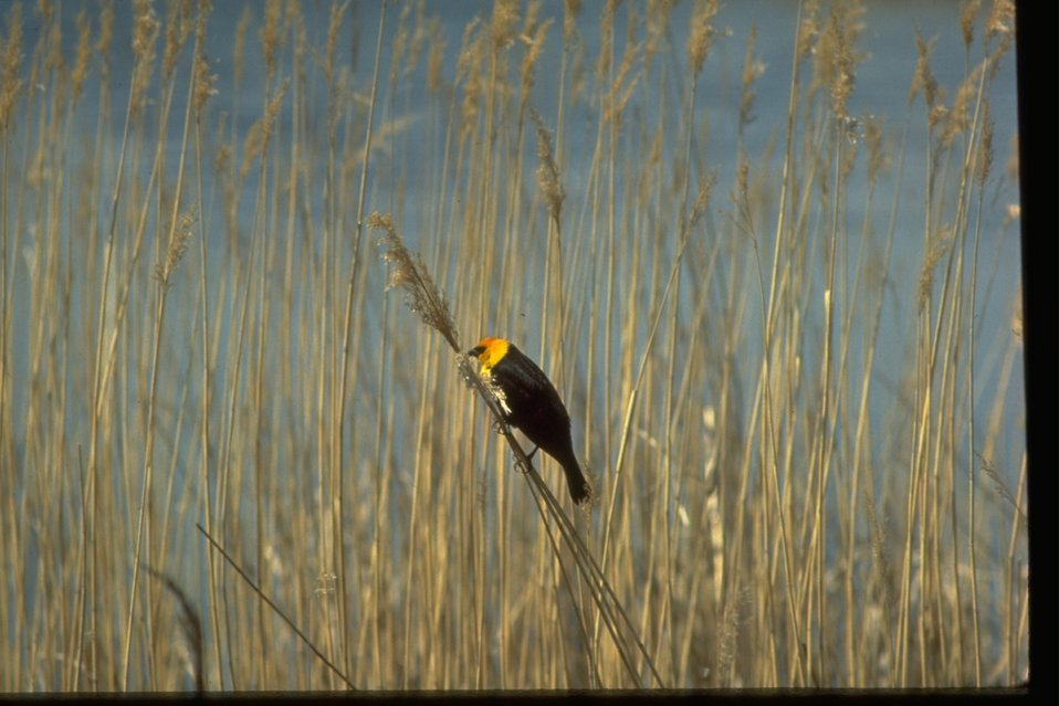 Yellow-headed Black Bird standing on a long piece of dried grass.