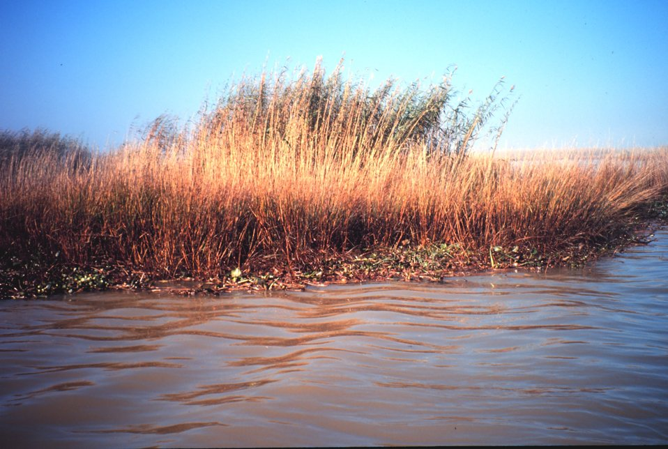 Oiled Spartina following oil spill