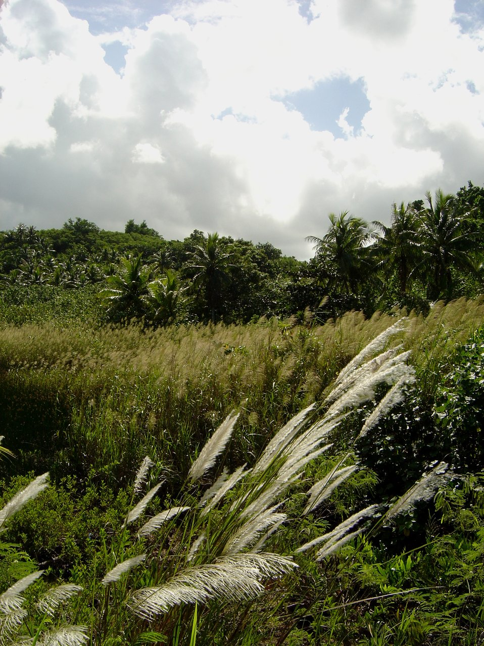 Phragmites marshland in wetlands of Guam.