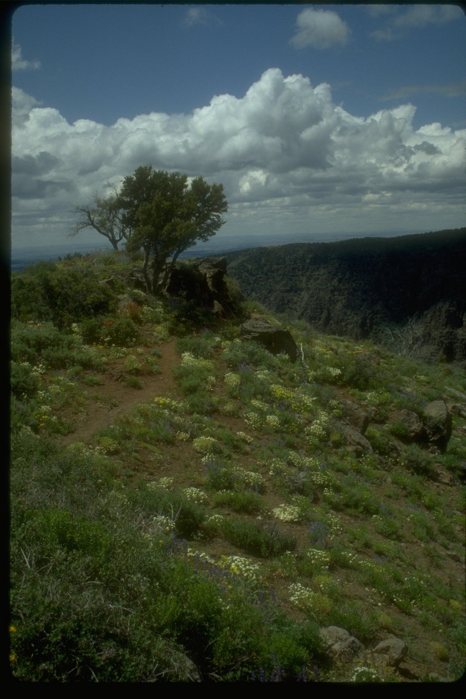 Lone shrub along the canyon rim.  Leading up to the bush are wildflowers and clumps of grass with scattered rocks.
