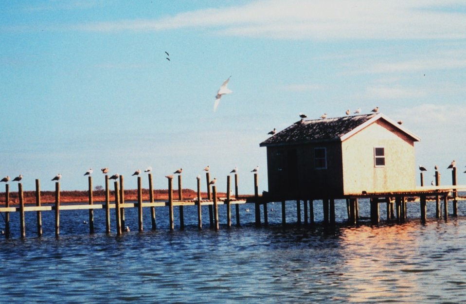 Seagulls occupying almost every piling along a Tangier Island waterman's dock.