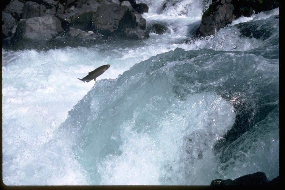 Salmon or Steelhead jumping up falls.