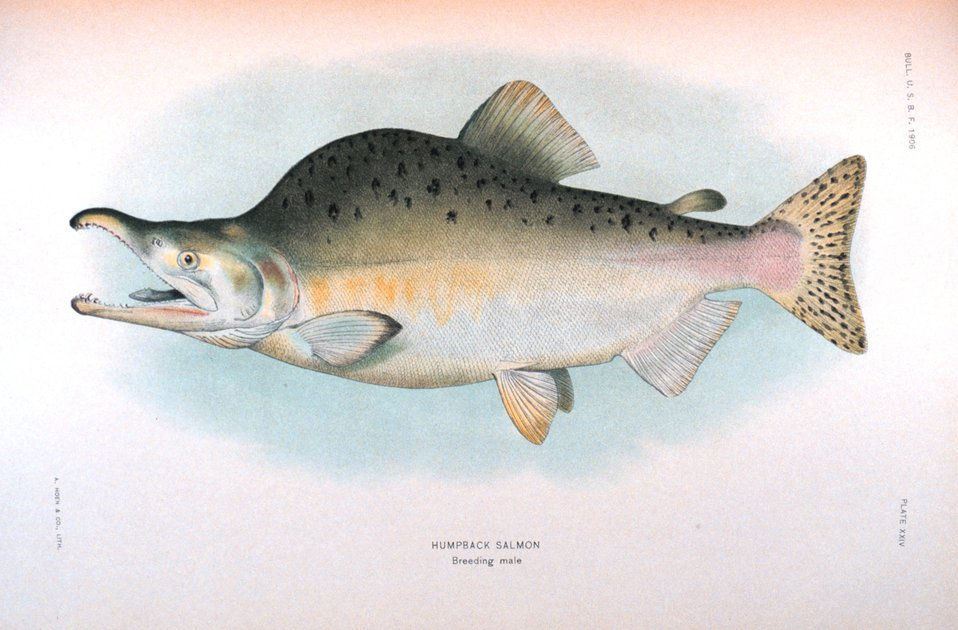 Humpback salmon, breeding male.  In:  'The Fishes of Alaska.' Bulletin of the Bureau of Fisheries, Vol. XXVI, 1906.  P. 360, Plate XXIV.