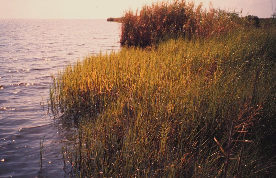 Fringing marsh along a small bay outside west levee of lower Mississippi River.