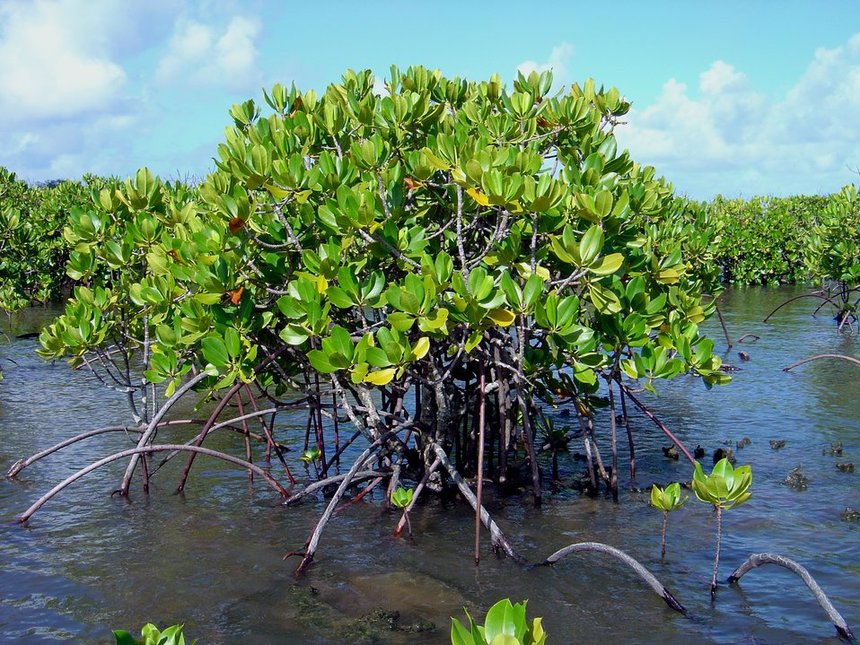 Mangroves growing in the coral rocks of the Guam coastline.