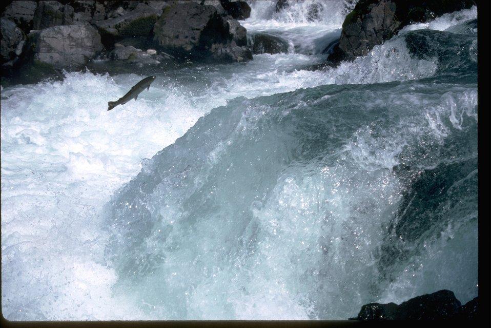 Salmon or Steelhead jumping up falls.