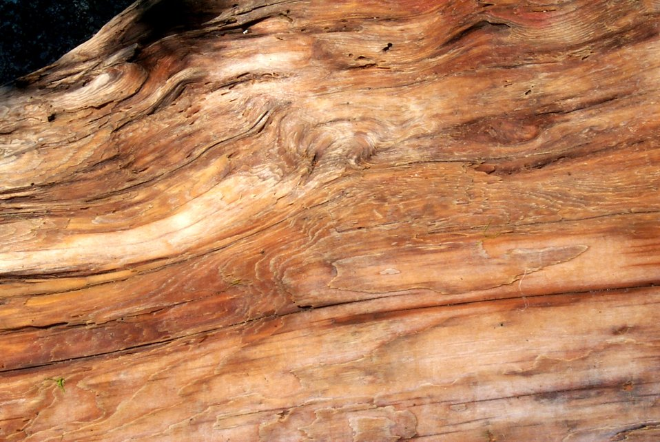 Driftwood trunk of a cedar tree.