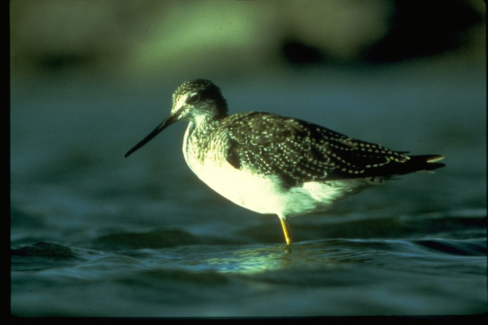 A Sandpiper standing in some body of water.
