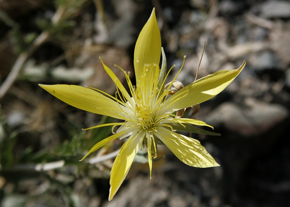 Mentzelia, one of the blazing stars.