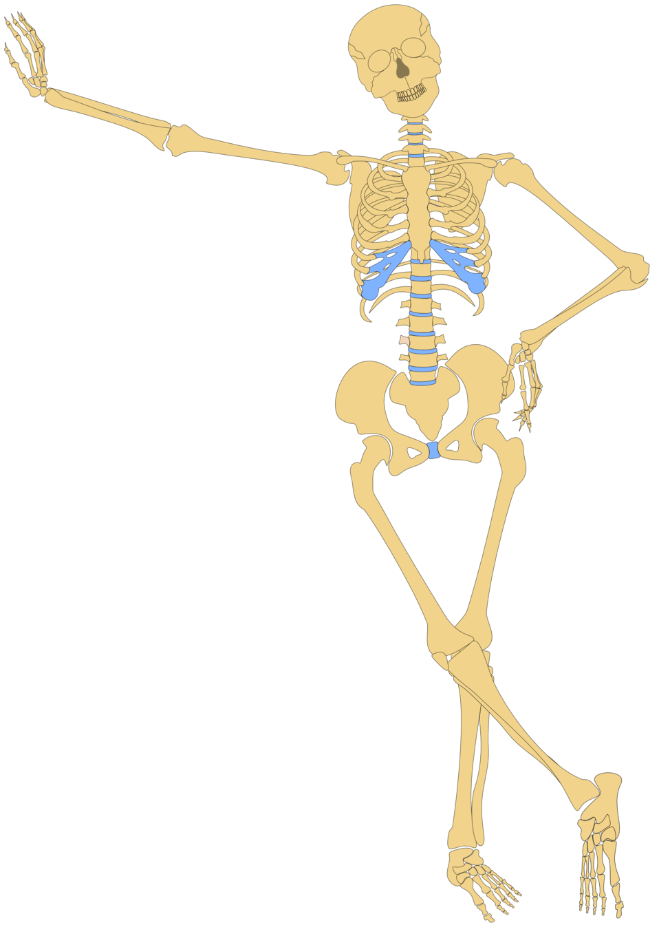 Human Skeleton(Outline)