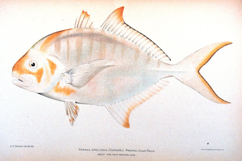 Caranx speciosus (Forskal).  Paopao; Ulua pauu. In: 'The Shore Fishes of the Hawaiian Islands, with a General Account of the Fish Fauna', by David Starr Jordan and Barton Warren Evermann. Bulletin of the United States Fish Commission, Vol. XXIII, for 1