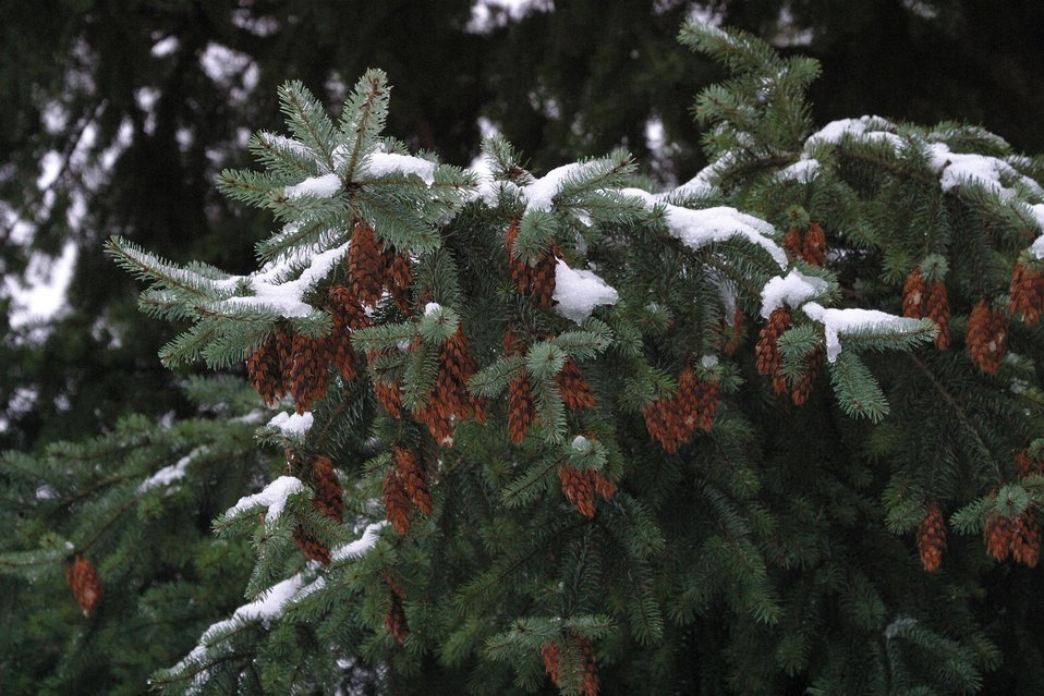 Snow and ice on Douglas Fir Bows and cones during the storm of January 2004.