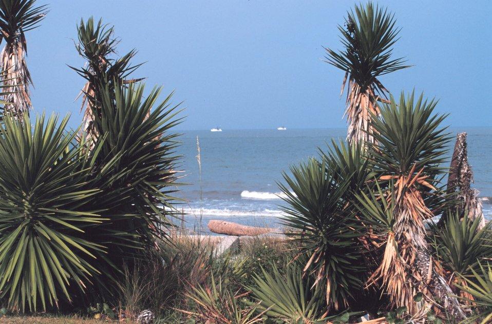 Palmetto trees (Sabal palmetto) along the Atlantic Ocean