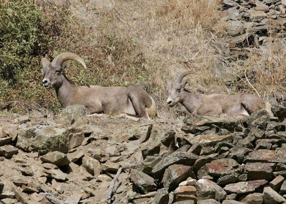 Bighorn sheep in the Connor Creek watershed in eastern Oregon.
