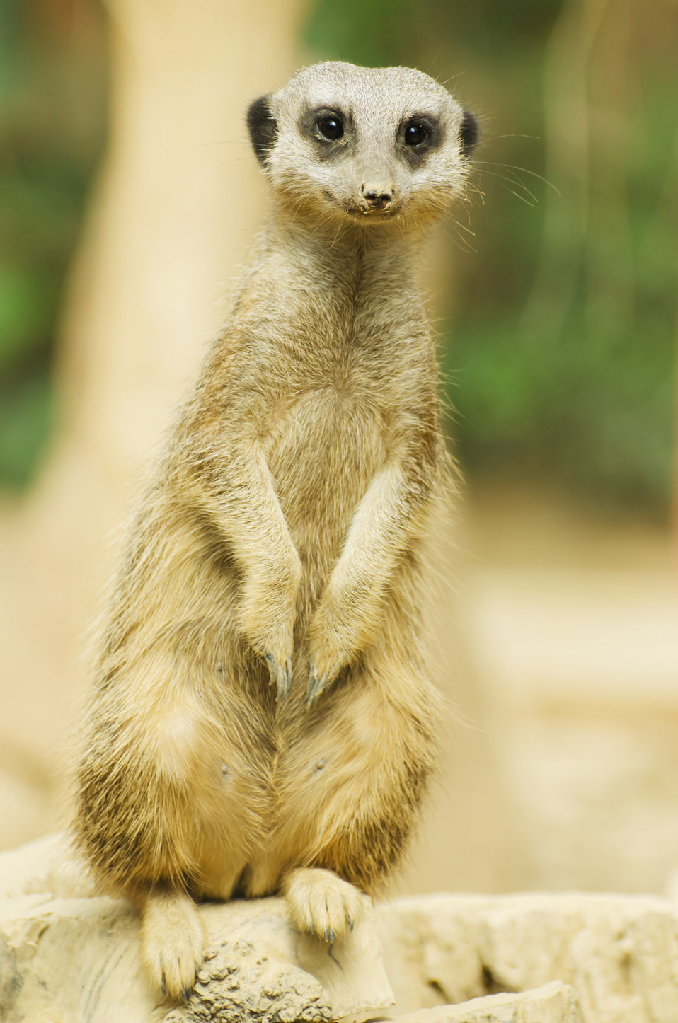 Suricate or meerkat sitting