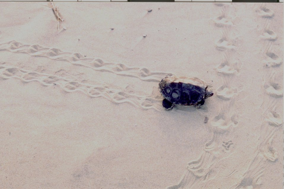 Terrapin making tracks in the sand