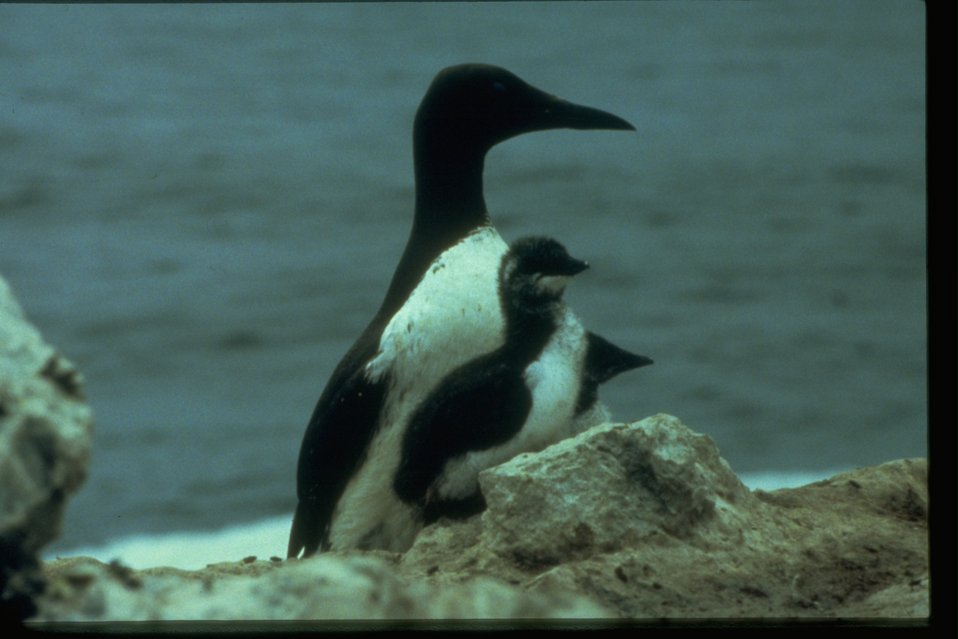 Common Murre with chicks along the coast.