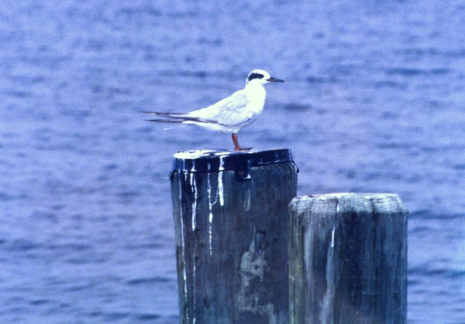 Possibly an immature Forster's Tern.