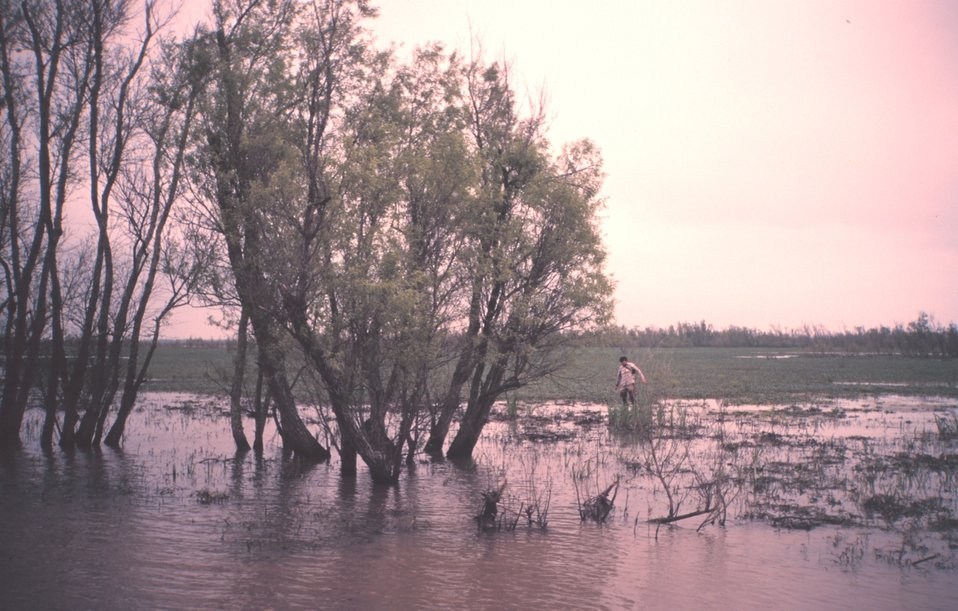 Marsh area with willow trees adjacent to lower Atchafalaya River