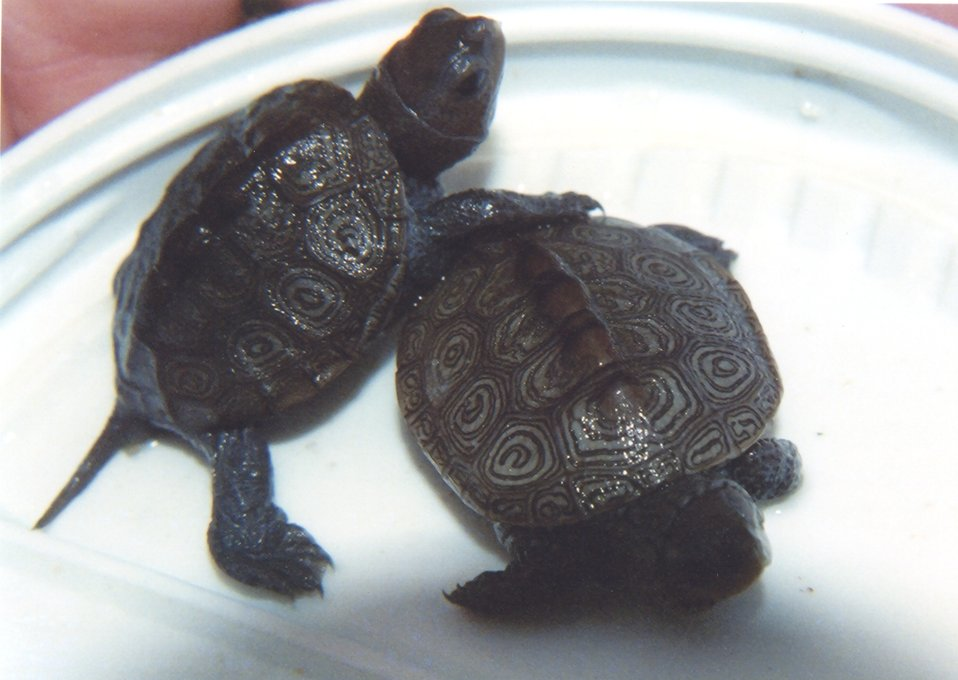 Diamondback terrapin hatchlings.