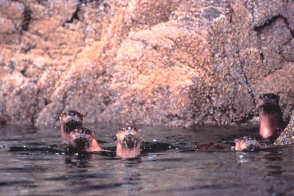 Curious sea otters checking out the photographer