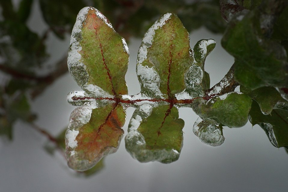 Ice on Oregon Grape leaves.