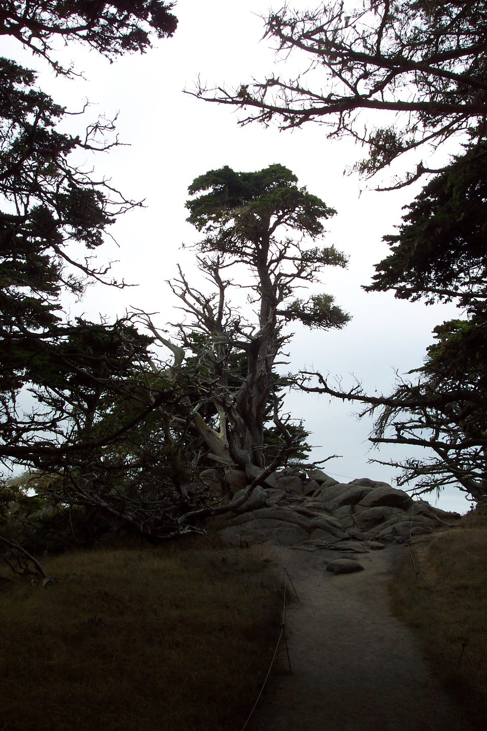 Monterey cypress on a Point Lobos Santa Lucia granodiorite outcrop.