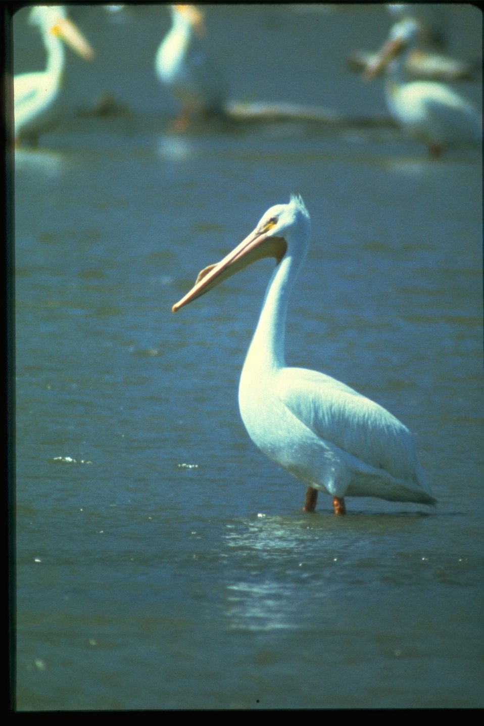 A white Pelican standing in water.