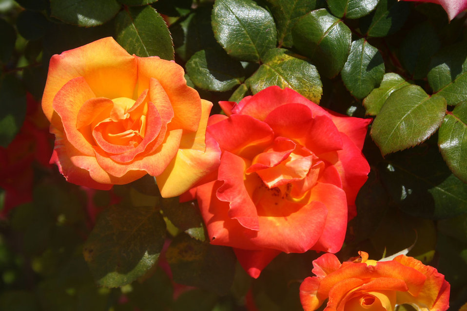 Orange and red roses