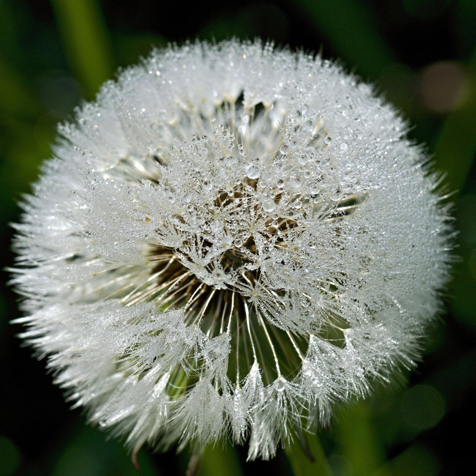 Dandelion light