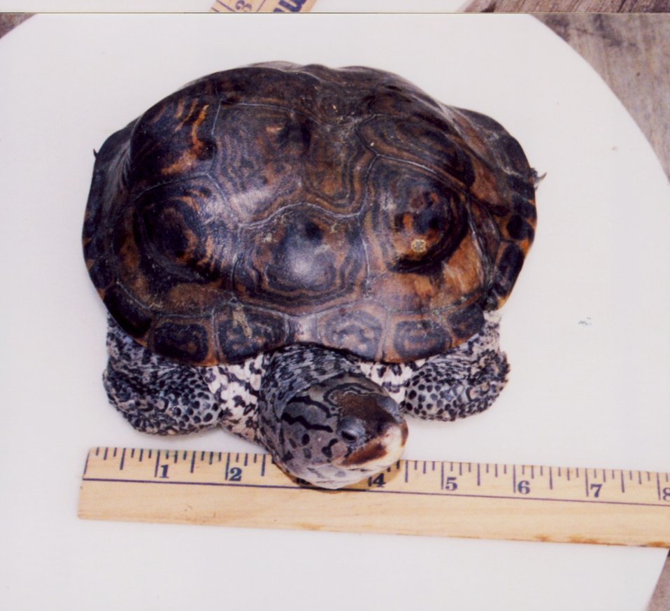 Diamondback terrapin with abnormal growth pattern