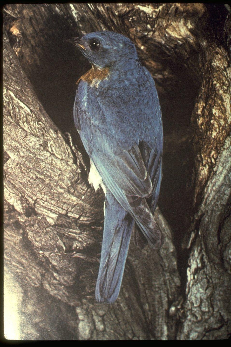 Western Blue Bird.