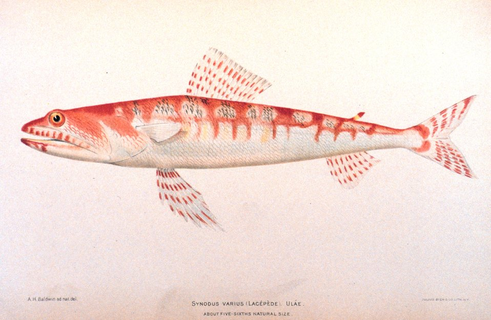 Synodus varius (Lacepede).  Ulae. In: 'The Shore Fishes of the Hawaiian Islands, with a General Account of the Fish Fauna', by David Starr Jordan and Barton Warren Evermann. Bulletin of the United States Fish Commission, Vol. XXIII, for 1903.  Part I.