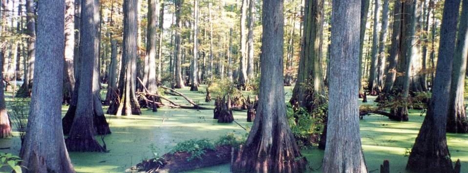 A beautiful stand of cypress trees