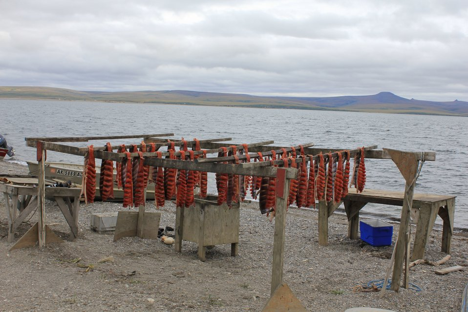 Fish drying racks.  Silver or coho salmon drying that have been cut back to the skin to make what is called dryfish.  The fish has also been a little bit smoked  to drive off the moisture on the surface which discourages flies from laying eggs.
