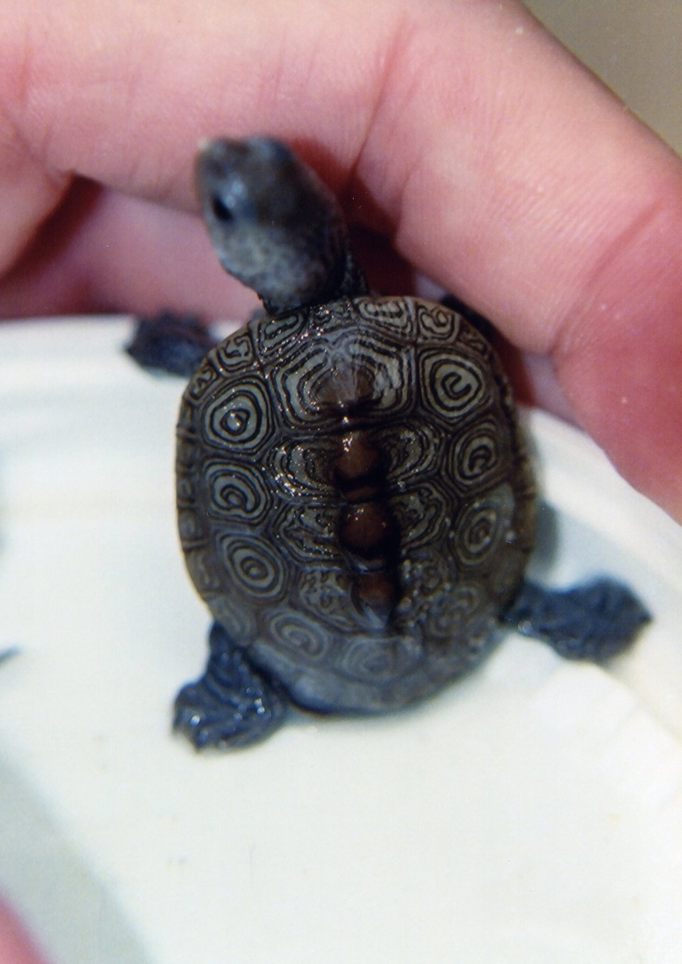 Diamondback terrapin hatchling with typical shell markings.