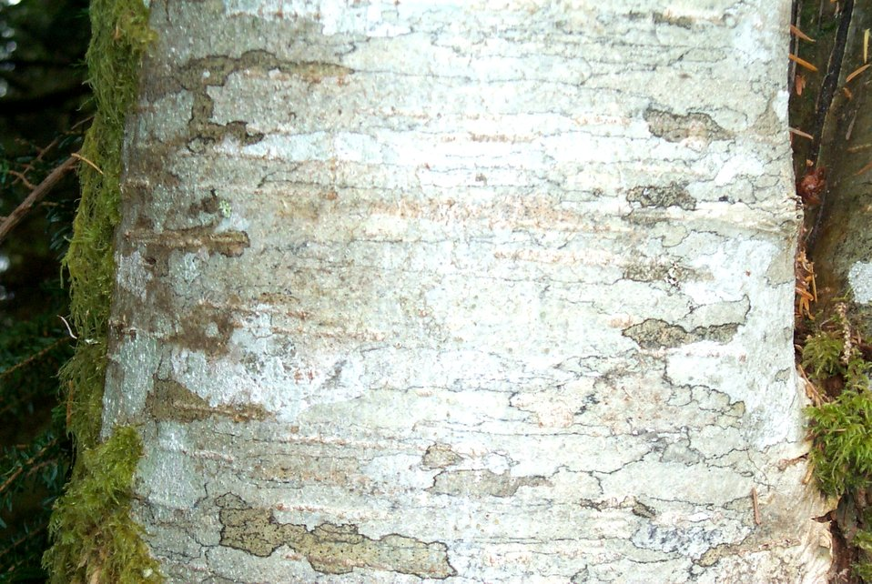 Eighteen-inch diameter alder tree