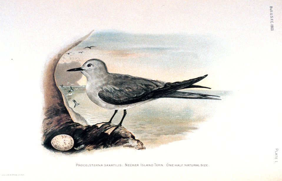 Procelsterna saxatilis.  Necker Island Tern.  In: 'Birds of Laysan and the Leeward Islands, Hawaiian Group' by Walter K. Fisher. Bulletin of the Bureau of Fisheries, Volume 23, 1903, Part III, p. 769, Plate I.