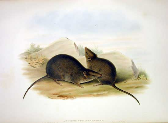 Antechinus swainsonii)