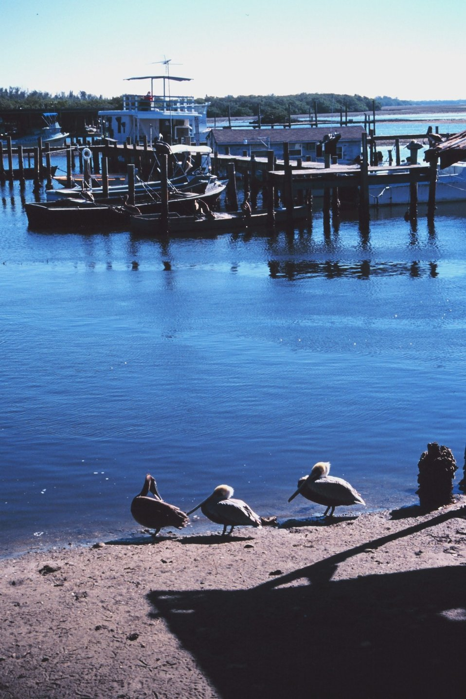 Pelicans and seagulls frequent the A. P. Bell Fish Co.